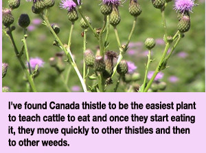 how to get rid of thistle in pasture