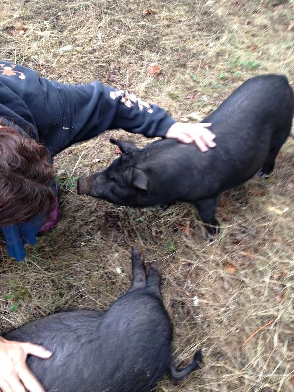 Swine Time 171 On Pasture