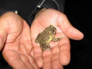Not only is the arroyo toad suffering from habitat loss, but bull frogs have moved in and they think that arroyo toads make a tasty meal.  When the males call to their mates, the bullfrogs pinpoint the toad's location and hop over to snap them up.